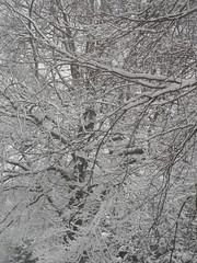 Snow tree (adele.turner) Tags: winter snow snowy snowytrees winterweather wintry snowybranches uksnow snowinsutton suttonsnow