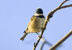 Coal Tit (Parus ater) in a Rowan Tree (Steve Greaves) Tags: winter food snow cold tree cute bird nature stone garden birdseed frost branch tit feeding little bokeh wildlife small freezing frosty aves naturalhistory freeze blackhead peanut feed titmouse suet avian birdfood wintery mealworm coaltit periparusater parusater whitecheeks feedingstation nikond300 whitepatch nikonafsii400mmf28ifedlens