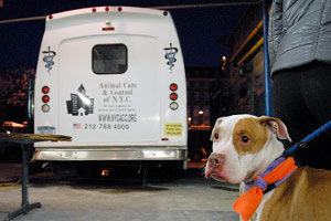 Dog at New York Animal Care & Control
