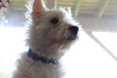 Midas (SarahHeyyyo) Tags: white west terrier highland