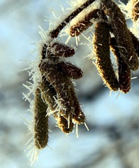 (:Linda:) Tags: snow germany village hoarfrost thuringia needle catkin raureif weidenktzchen similarto rauhreif brden