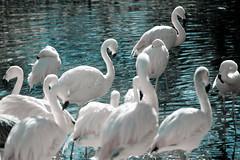 (mexicois) Tags: pink usa birds animal animals zoo us unitedstates kentucky flamingos aves migracin louisville animales migration rosas immigration estadosunidos etatsunis flammingo zancudas migratorias lightroom3
