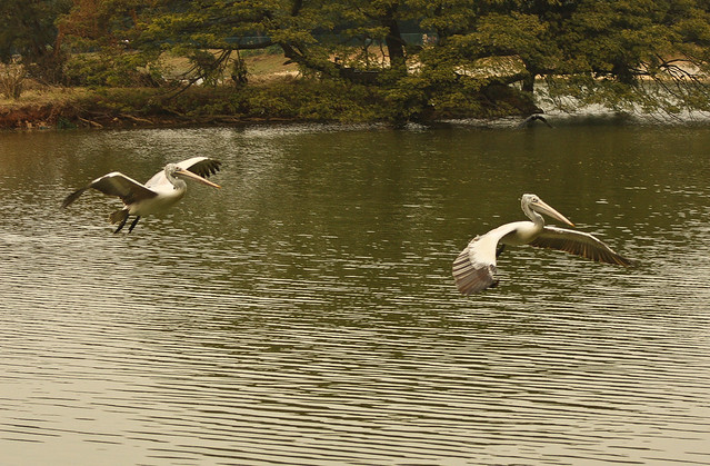 Pelican Pair flying graciously