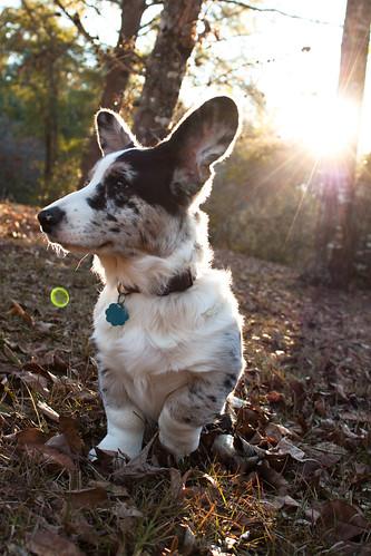 Byron - Cardigan Welsh Corgi - Puppy 5 Months