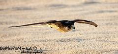 IMG_3026 (H . M) Tags: falcon