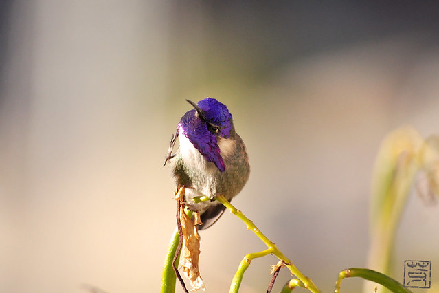 Costa's Hummingbird, Dec 2009