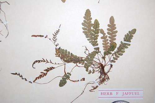 Vista de un ejemplar de herbario de <i>Blechnum corralense</i> en el aucl se aprecia la diferencia entre las frondes estériles (hojas más anchas pero más cortas) y las frondes fértiles con soros (frondes u hojas más delgadas pero más largas). Herbario CONC de la Universidad de Concepción.
