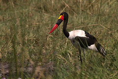 Saddlebilled Stork (Thomas Retterath) Tags: africa travel bird nature birds animals canon tiere wildlife urlaub natur adventure safari afrika botswana vgel vogel 2010 storch abenteuer saddlebilledstork ephippiorhynchussenegalensis kwando kwara sattelstorch canoneos7d thomasretterath