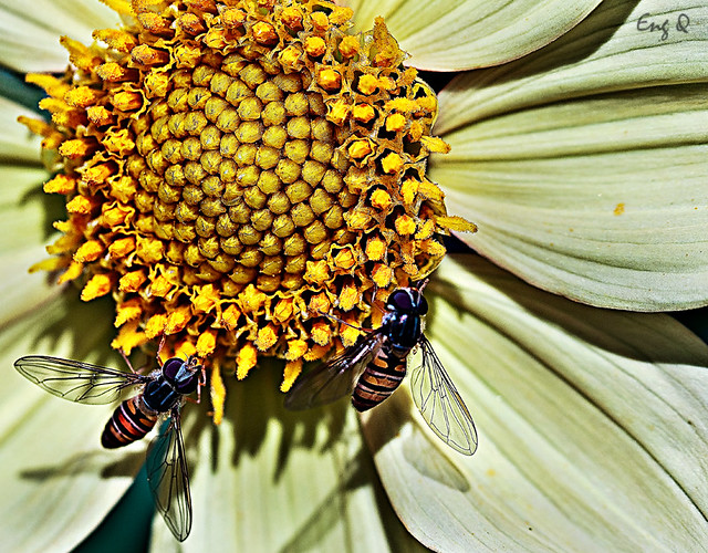 two hoverfly