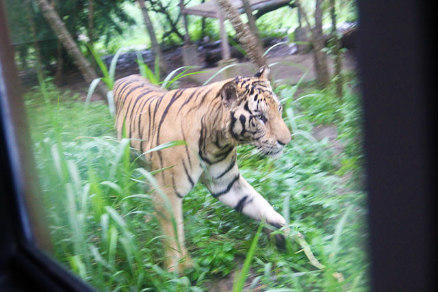 Tiger in Bali Zoo
