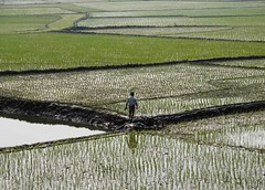 Master of the game (ShohorBondi ) Tags: reflection green field pattern paddy crop dhaka crossroad bangladesh paddyfield transaction aminbazar masterofthegame