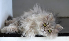 1 Lazy persian cat