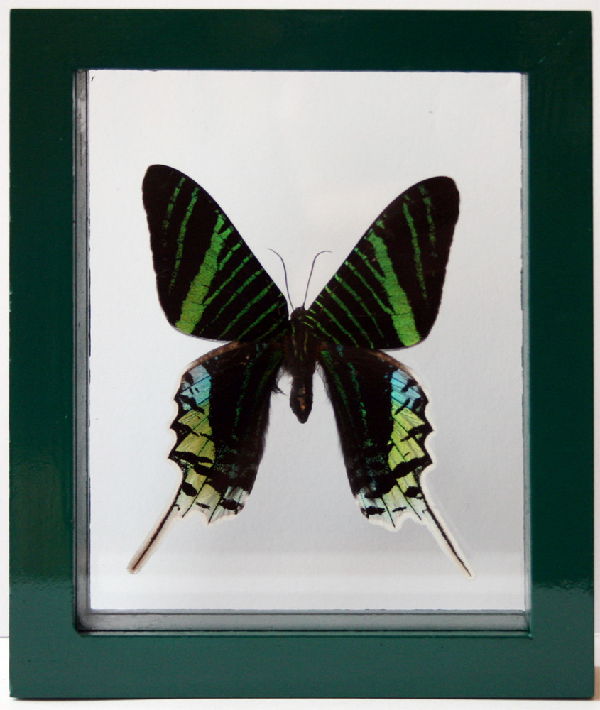 Green Moth Urania leilus in a Black Frame for Home Decor