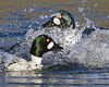 Chaos Theory (Andrew Haynes Wildlife Images) Tags: male bird nature duck wildlife coventry warwickshire goldeneye brandonmarsh canon7d ajh2008