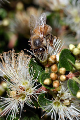 Metrosideros perforata floral cup (Tonyfoster) Tags: newzealand flower style vine bee honey nectar pollen stigma proboscis rata anthers pollination myrtaceae metrosideros floralcup