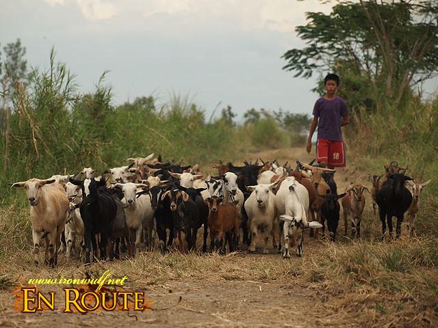 Herding the goats