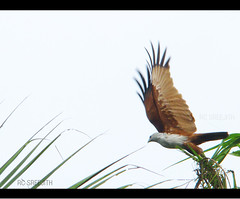 take-off (RC Sreejith | ) Tags: kite nature eagle indian kerala brahminykite haliasturindus sonyh50 sreejithrc rcsreejith brahminykitefly