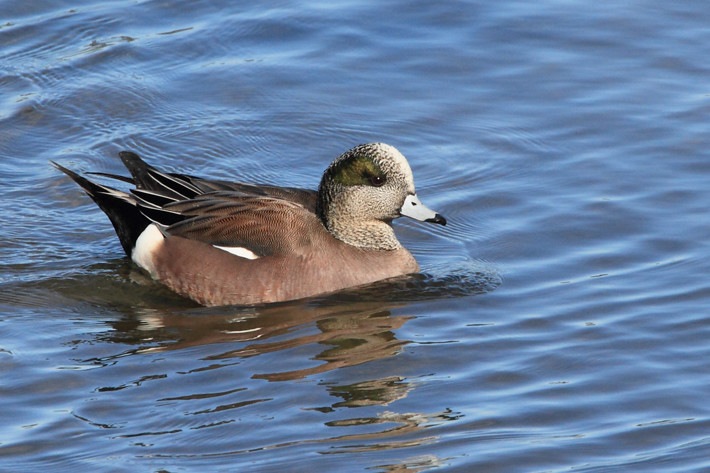 011511_widgeon