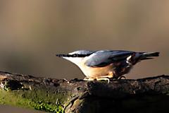 Nuthatch (JayClark) Tags: uk bird wildlife thelodge