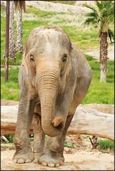 Elephant (MakeLifeMemorable) Tags: life elephant make animals photo emily 1987 sony may example spencer alpha memorable a230 muhly makelifememorable lonegungrrly