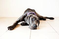 Leo (bivoir) Tags: dog pet cute leo highkey bluegreatdane