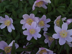 ANEMONE nemorosa 'Bowles Purple'