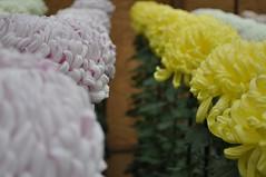 Ogiku Chrysanthemums