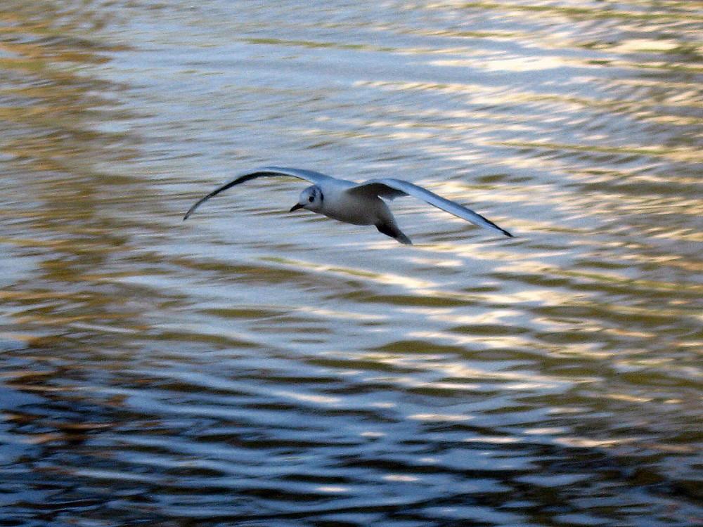 22-01-2011-gull