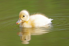 Duckling (Hugobian) Tags: park baby bird nature birds fauna duck wildlife duckling young chick valley british mallard stevenage fairlands