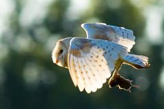 Rimlit Vole (jammo s) Tags: barnowl owl tytoalba wildbarnowl birdofprey birdinflight wildowl bird vole flying nature wings wildlife canoneos80d canonef400mmf56lusm