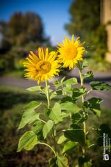 Die Sonne der Blumen.... (Tubus112) Tags: canon harmonie sky daskleinefotostudio bodensee natur sommer sonne