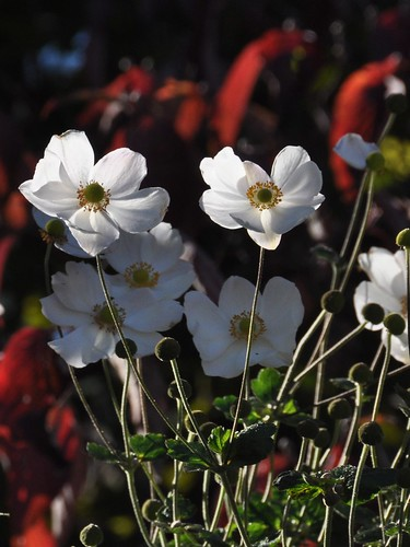 Anemone japonica with dogwood bokeh... sunlight and shadow in the garden... November, 2010