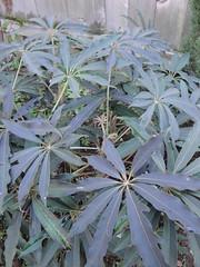 Shefflera taiwaniana cold foliage