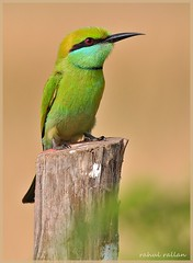 JUST CAN'T LET THE BEE-EATERS BE  : ) (Rahul Rallan) Tags:
