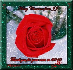 RED ROSE IN THE WINTER SNOW
