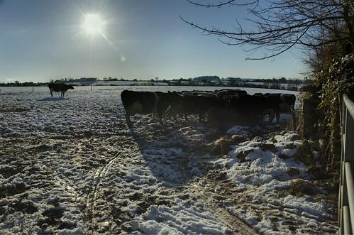 Kilmalooda Cows