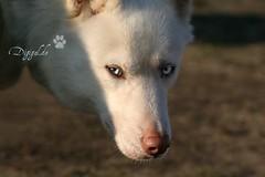 Husky (Digigal1) Tags: dog photo husky foto si huskies hund siberianhusky augen bild haustier sledge schlittenhund ruede sledgedog huskys arbeitstier huski saeugetier polarhund transportmittel rassehund nutztier zughund leithund lastentier