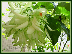 Mussaenda philippica 'Aurorae' (White Mussaenda) blooming its head off in November 2010