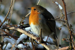 Robin (JayClark) Tags: uk wildlife thelodge