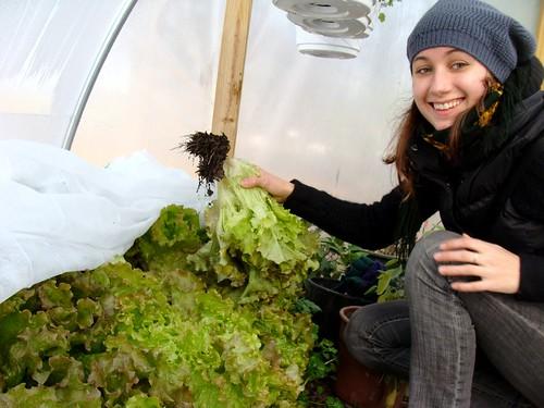 Harvesting Lettuce!