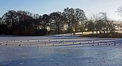 Just Standing Around (alphazeta) Tags: park blue trees sky ice sunshine birds pond colours gulls bluesky local icy iceonpool