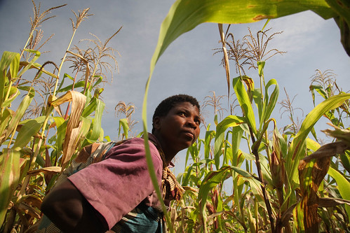 Working in the maize field in Malawi