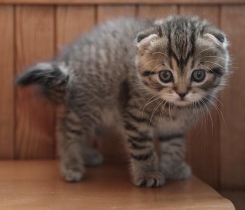 Todo sobre la raza de gato Fold Escocés: Historia, características y  cuidados - Mermaid things