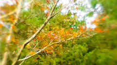 Autumn Leaves (ddsnet) Tags: new autumn plant leaves lensbaby sony taiwan autumnleaves experience   taoyuan autumnal  composer  nex    leaves mirrorless autumn autumn leaves lensbabycomposer emount nex5 newemountexperience 851 85