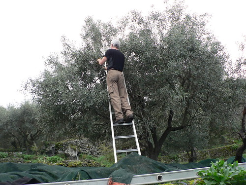 Frank - Olive Picking