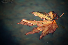 Autumn (alishariat) Tags: travel blue autumn red vacation orange holiday tree tourism nature pool yellow persian leaf fantastic place iran awesome muslim sightseeing middleeast persia stunning destination iranian float exploration touring islamicworld alishariat intrepidtravels
