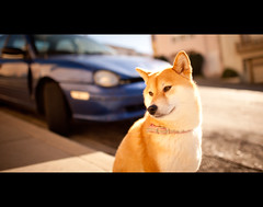 One Last Sunny Day - 50/52 (kaoni701) Tags: sanfrancisco portrait dog sun project puppy japanese nikon dof bright bokeh walk suki shibainu cinematic week50 shibaken  almostdone 24mmf14 d700 52weeksfordogs