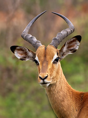 Impala Buck (Wild Dogger) Tags: africa travel nature animals canon southafrica tiere wildlife urlaub natur adventure safari afrika impala bovidae mammals sdafrika krugernationalpark 2010 herbivore sugetier abenteuer aepycerosmelampus pflanzenfresser colorphotoaward canoneos7d thomasretterath schwarzfersenimpala doublyniceshot canonef300lis28usm bestofblinkwinners