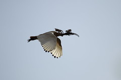 White Ibis (blachswan) Tags: australia victoria ibis whiteibis ballarat nesting birdinflight australianwhiteibis threskiornismolucca lakewendouree