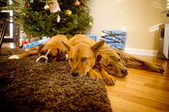 Christmas 2010 (denlinkbarmann) Tags: christmas xmas dog brown tree dogs three pixie porter 2010 nila neila niela barmann denlin